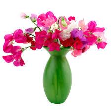 Sweet Pea Images Flower - grower direct about flowers flower varieties sweet pea