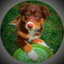 is an australian shepherd smart the 25 best australian shepherd temperament ideas on pinterest