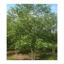 ornamental trees growers solution