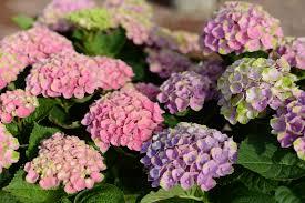 hydrangea for st louis plant information by frisella nursery