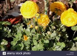 ranunculus asiaticus buttercup family ranunculaceae