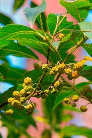 australian native edible plants wild magazine