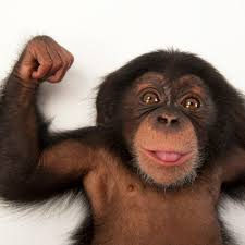 chimpanzee national geographic