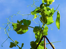 How To Make Trellis For Peas Diy Trellis Ideas For Beans Peas And How They U0027re Different
