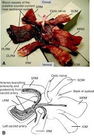 Gross Anatomy Of The Brain And Cranial Nerves Pdf Evidence For Cranial Endothermy In The Opah Lampris Guttatus