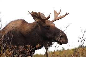 huge adirondack bull moose dies after collision with tractor