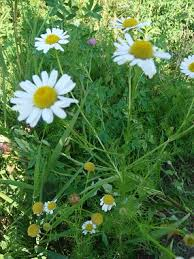 Identify Flowers - chamomile pictures flowers leaves and identification