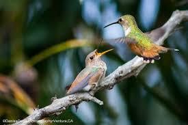 california birds bird watching in ventura ca