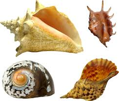 assorted seashells assorted seashells psd official psds