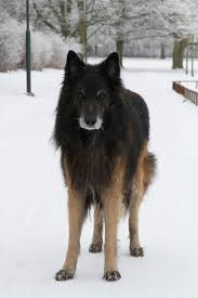 should i get a belgian tervuren the 17 best images about dogs no 3 on pinterest