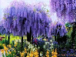 flowers cascades garden trees beauty wisteria purple amazing