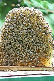 splitting the top bar hive with a shook swarm honey bee suite