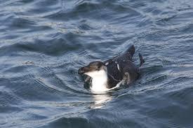 11 26 u2013 a great day birding cape cod flight of the scrub jay