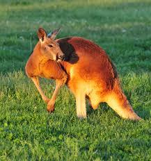 red kangaroo lake tobias