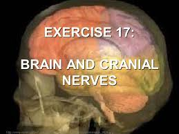 Gross Anatomy Of The Brain And Cranial Nerves Worksheet Exercise 17 Brain And Cranial Nerves Ppt Video Online Download