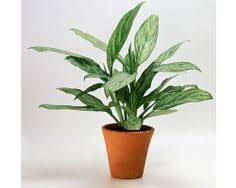 Indoor Plants Low Light Hgtv by Chinese Evergreen Aglaonema Aglaonema Chinese Evergreen