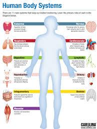 Human Anatomy And Body Systems Infographic Human Body Systems Carolina Com