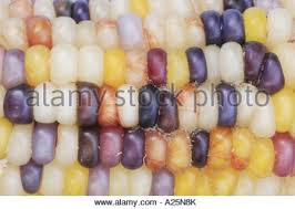 ornamental indian corn zea mays grown for coloured pericarp and