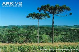 parana pine photos and facts araucaria angustifolia arkive