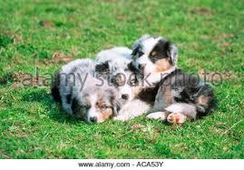 mini australian shepherd 7 weeks australian shepherd puppies 6 weeks old stock photo royalty free
