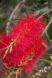 best australian native hedge plants plants for cut flowers u0026 floral displays native plant and