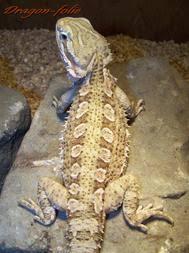 species bearded dragons