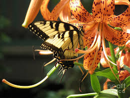 tiger butterfly and tiger lilies photograph by donna brown