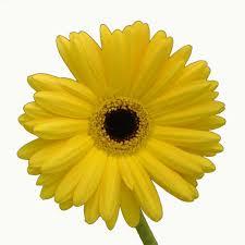 Gerbera Daisies Gerbera Daisy Yellow Gerbera Daisies