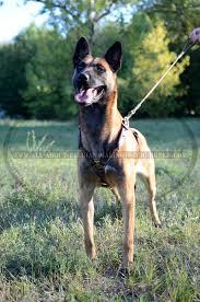 belgian malinois dog leather belgian malinois harness for walking training and