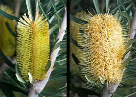 seed collection of australian native plants banksia wikipedia