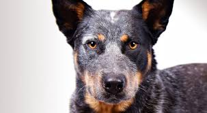 3 4 australian shepherd 1 4 blue heeler australian cattle dog breed information american kennel club
