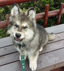 australian shepherd vs husky alaskan shepherd dog breed information and pictures