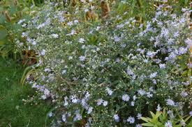 plants native to russia an astonishing variety of mostly wild asters u2013 gardeninacity