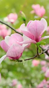 Magnolia Wallpaper Pink Magnolia Htc One Wallpaper Best Htc One Wallpapers