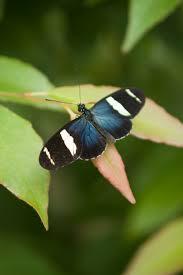 file small blue grecian butterfly 4 jpg wikimedia commons