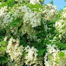 buy false acacia tree or black locust tree from uk supplier