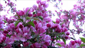 trees with pink flowers both of my beautiful crabapple trees pink tulips and