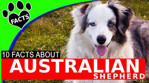 movies with australian shepherds in them dogs 101 australian shepherd aussie interesting facts