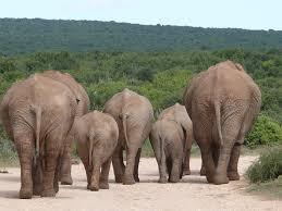 herd of elephants free pictures on pixabay