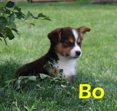 australian shepherd x puppies for sale brunofarms com