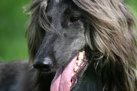 afghan hound good and bad 10 elegant facts about the afghan hound mental floss