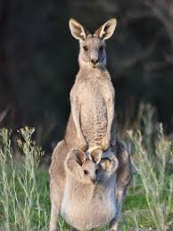 imagenes animales australia animals of australia for kids