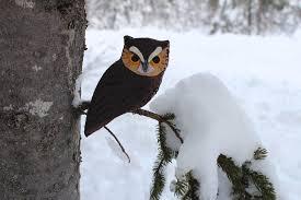 the fearless eastern screech owl downeast thunder farm