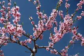 how to root from a cutting of a blossoming cherry tree home
