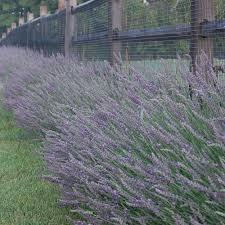 Most Fragrant Lavender Plants Lavandula X Intermedia Phenomenal White Flower Farm