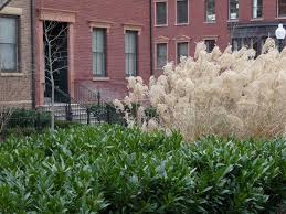 cherry laurel and miscanthus ornamental grass mcfall and berry