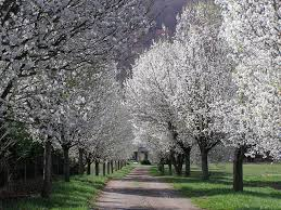 alley of callery bradford pears in bloom pear water and driveways