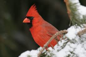 pennsylvania vies for top spot in great backyard bird count