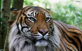 30 most beautiful tiger pictures that will inspire you themescompany
