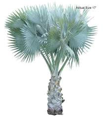 bismarck palm tree welcome to your local nursery